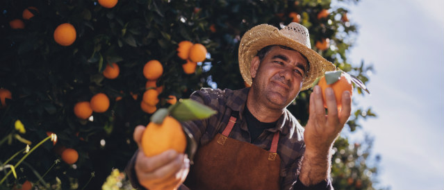 Farmer picking oranges in an orange grove.